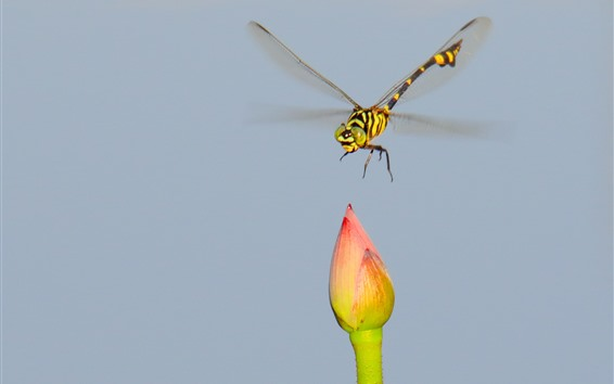 Wallpaper Dragonfly and lotus bud