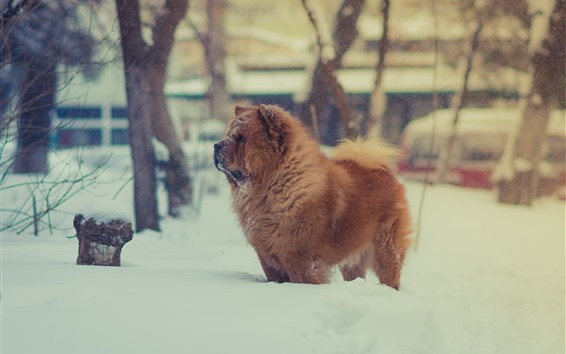 Wallpaper Furry brown dog, winter, snow