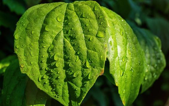 Обои Зеленые листья, капли воды, растения