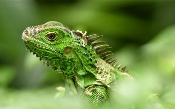 Обои Зеленая ящерица, игуана, голова, туманная