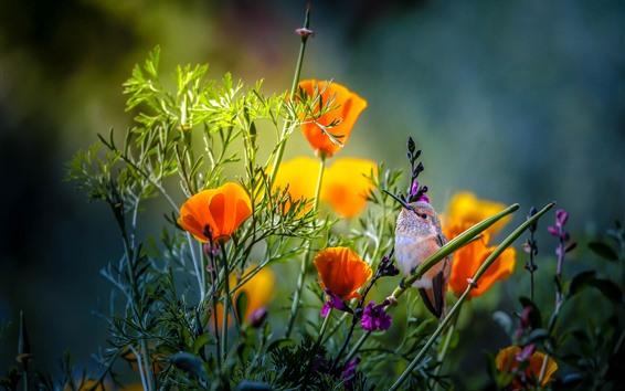 Papéis de Parede Beija-flor, papoulas laranja
