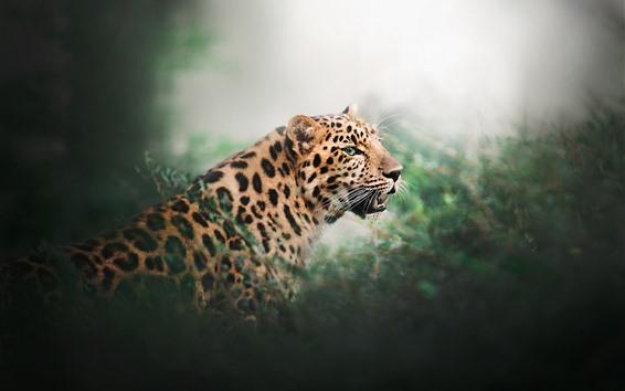 Обои Леопард, дикая кошка, зубы, кусты, туманные