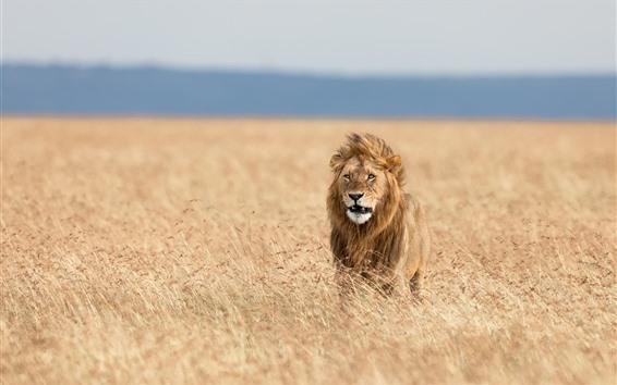 Wallpaper Lion, savanna, grass