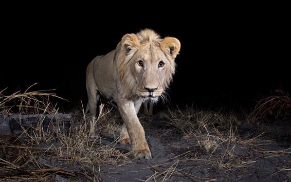 Wallpaper Lion walking at night