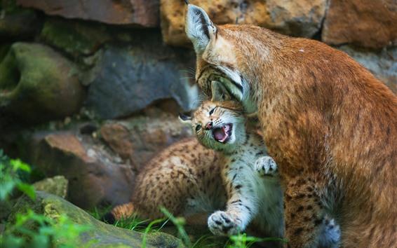 Fond d'écran Lynx, mère et bébé