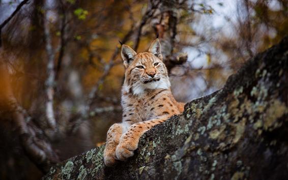 Papéis de Parede Descanso de lince, natureza, gato selvagem