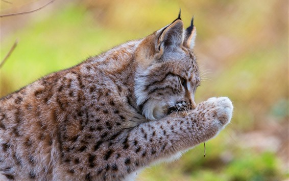 Wallpaper Lynx wash paw