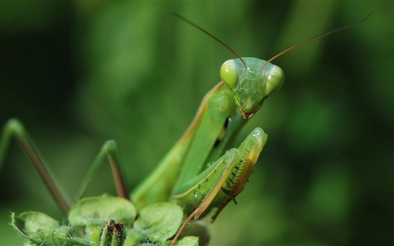 Wallpaper Mantis, green insect