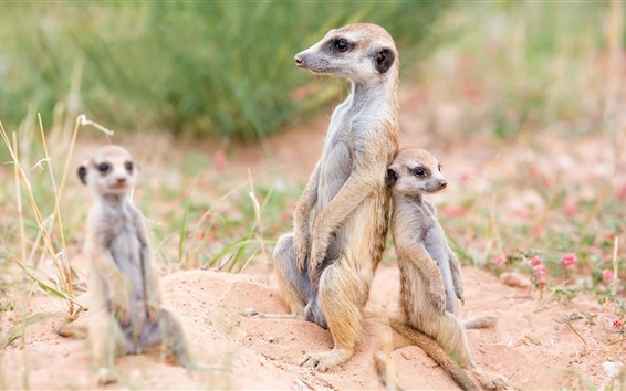 Wallpaper Meerkats, family, wildlife