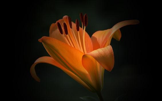 Обои Оранжевый цветок лилии, лепестки, черный фон