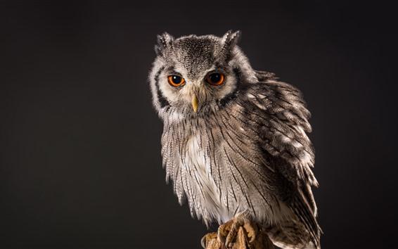 Wallpaper Owl, gray background