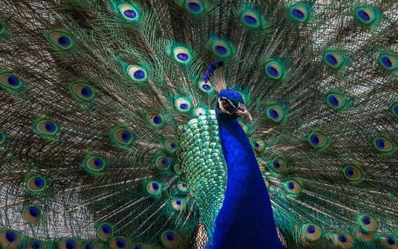 Papéis de Parede Pavão cauda aberta, penas bonitas, pássaro