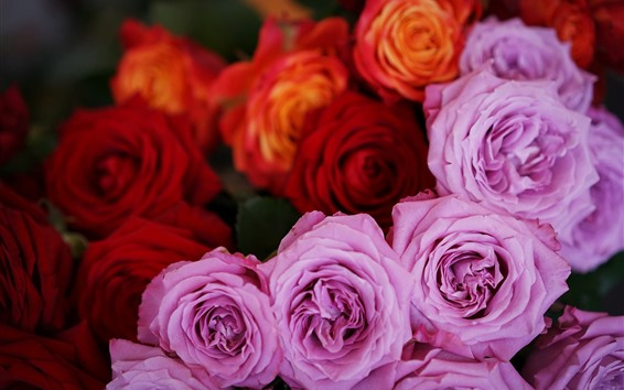 Wallpaper Pink and red roses, flowers close-up