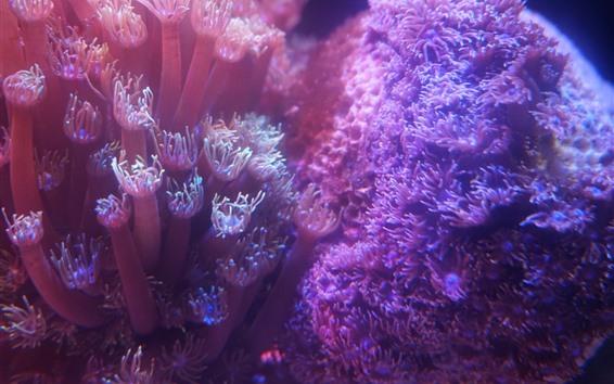 Fond d'écran Corail rose, sous l'eau