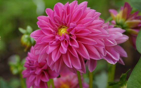 Обои Розовые георгины, макросъемка цветов