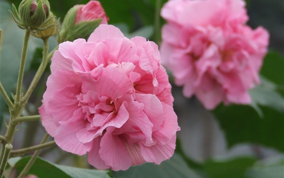 Wallpaper Pink hibiscus flowers, petals