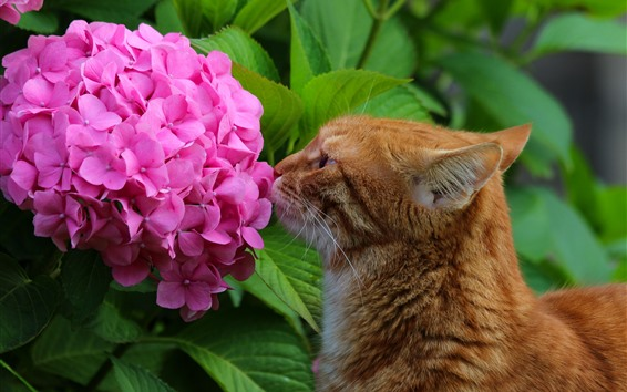 Wallpaper Pink hydrangea and cat
