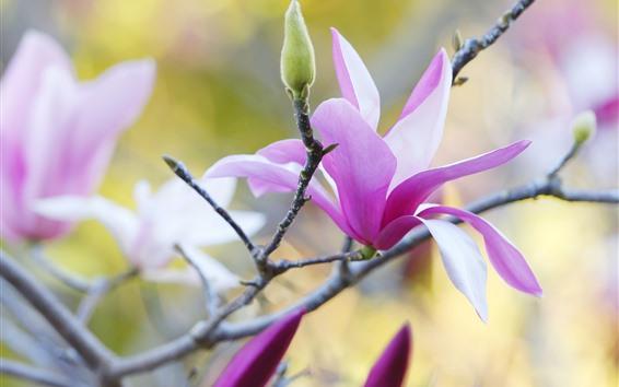 Papéis de Parede Magnólia rosa, flores, pétalas, galhos, primavera