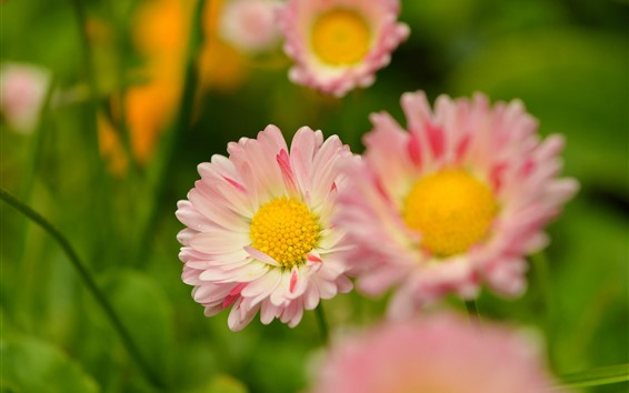 Wallpaper Pink petals daisy, spring