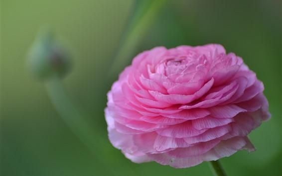 Papéis de Parede Ranunculus rosa, pétalas, fundo verde