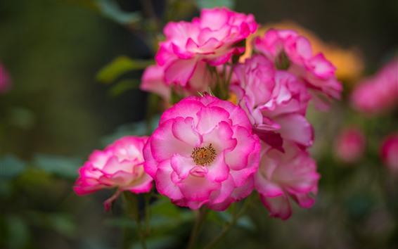 Обои Розовая роза крупным планом, цветы, боке