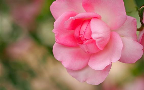 Papéis de Parede Rosa rosa close-up, pétalas, obscuro