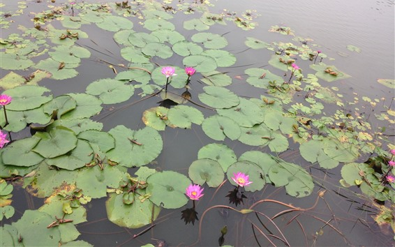 Wallpaper Pink water lily, pond, park