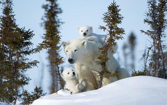 Papéis de Parede Ursos polares, família, árvores, neve