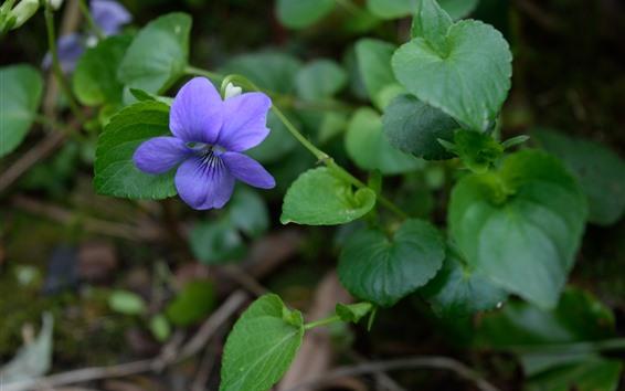 Wallpaper Purple flower, green leaves, plants