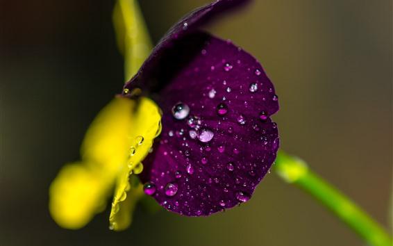 Wallpaper Purple flower macro photography, water droplets, hazy