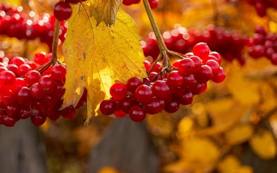 壁纸 红色浆果,秋天