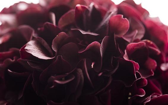 Wallpaper Red hydrangea, petals macro photography