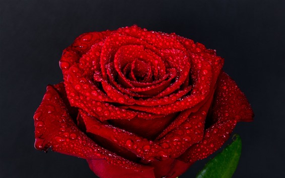 Wallpaper Red rose, petals, water droplets