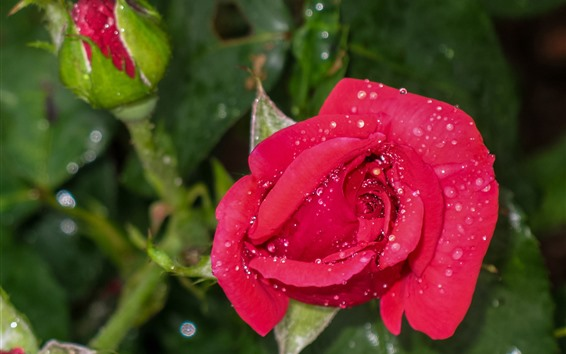 Wallpaper Red rose, water droplets, flowers