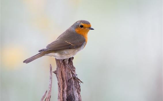 Wallpaper Robin bird, stump