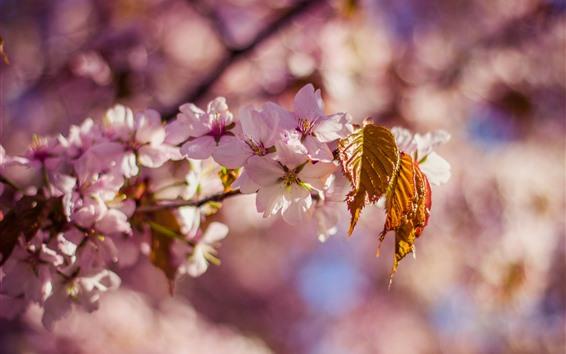Papéis de Parede Sakura, flor, primavera, folhas