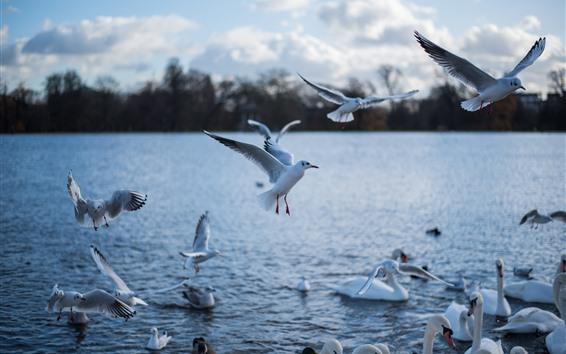 壁紙 カモメと白鳥、湖