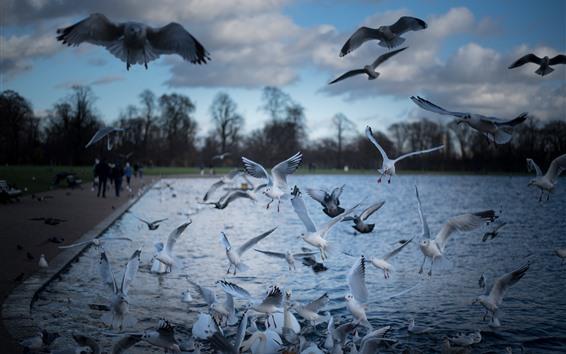 Papéis de Parede Alguns pássaros, gaivotas, vôo, lagoa