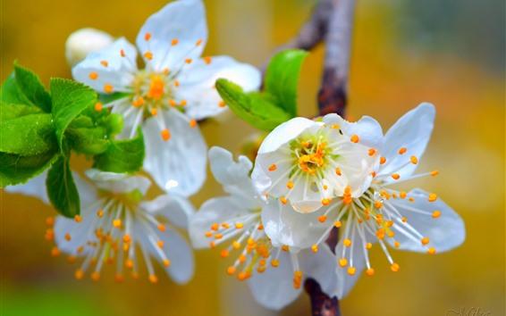 Wallpaper Spring, white sakura bloom