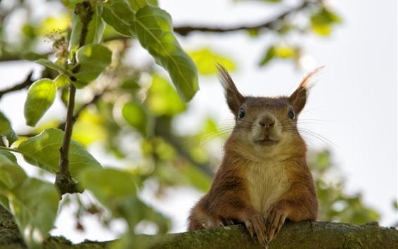 Papéis de Parede Esquilo, galho de árvore, folhas