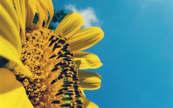Wallpaper Sunflower side view, blue sky