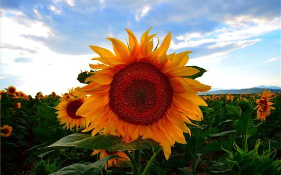 Papéis de Parede Girassóis, campo, anoitecer, nuvens, verão