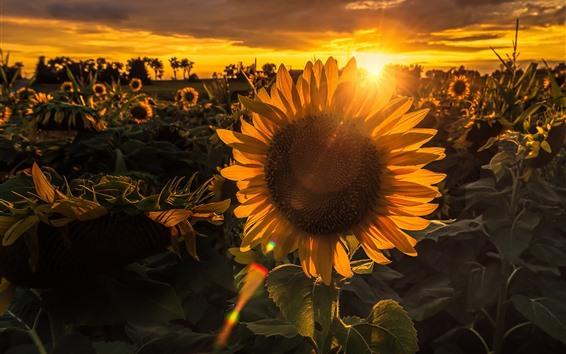 Papéis de Parede Girassóis, pôr do sol, luz de fundo