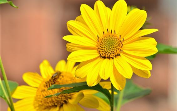 Papéis de Parede Girassóis, pétalas amarelas, verão
