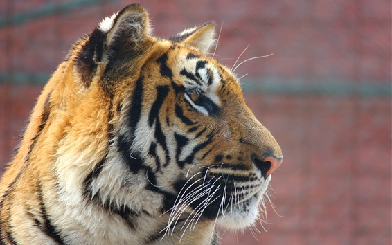 Wallpaper Tiger, face, side view, wildlife