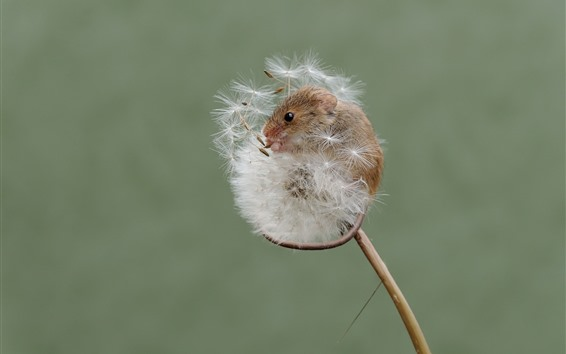 Wallpaper Tiny mouse, dandelion