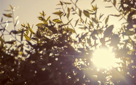 Fond d'écran Rameaux, feuilles, soleil, éblouissement
