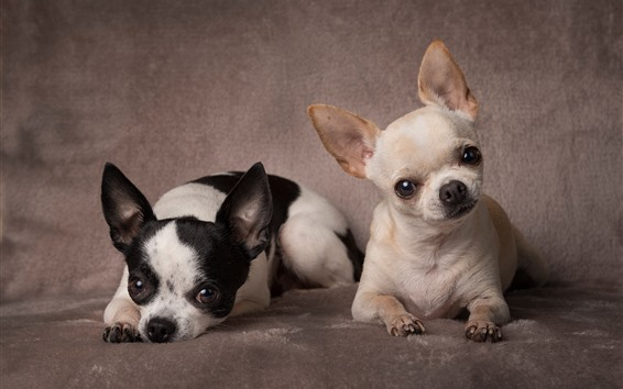 Wallpaper Two Chihuahua dogs, cute pets