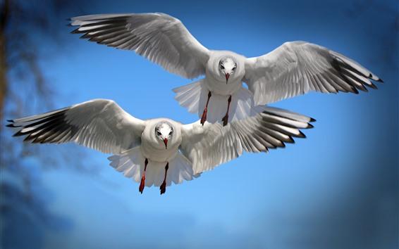 Wallpaper Two birds flight, seagull