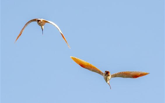 Обои Полет двух птиц, крылья, голубое небо